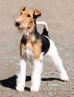 pixwords italiano FOX TERRIER